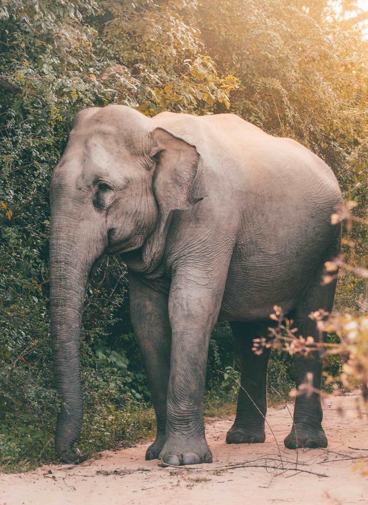Elephant up close in Kumana National Park near Arugam Bay