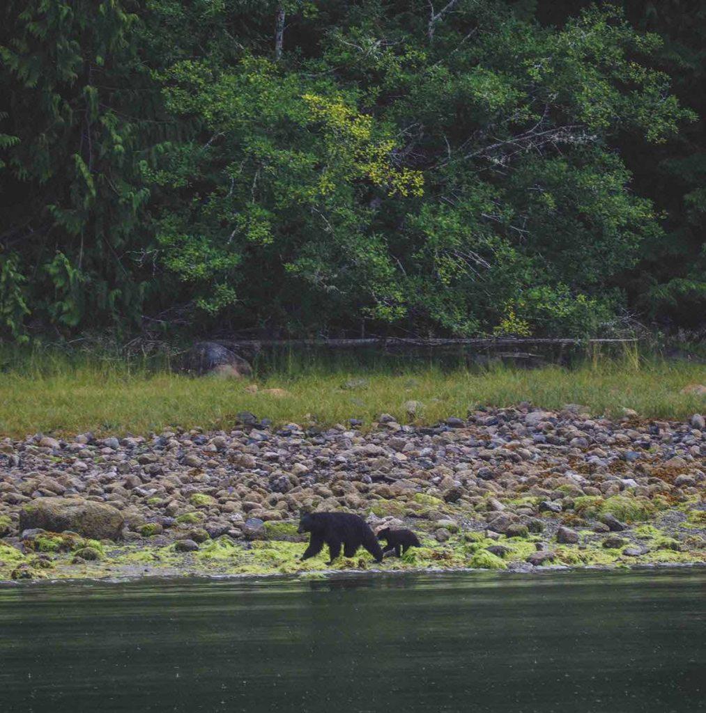 Bear Watching in Tofino
