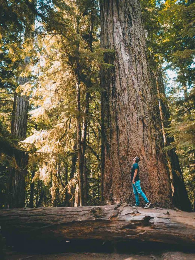 Giant trees at Cathedral Grove